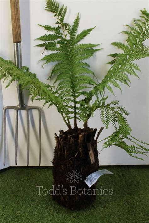 tree for sale uk potter tree fern for sale in the uk
