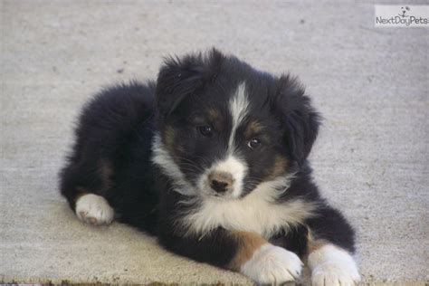 australian shepherd puppies for sale oregon australian shepherd puppy for sale near bend oregon 8cdb2266 23f1
