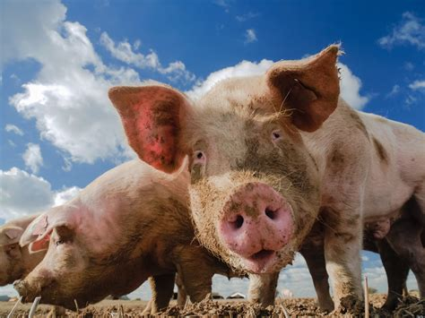 For Pigs gmo feed left pigs with higher stomach inflammation study