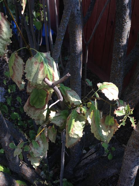 diagnosis - Why are my lilacs dying and what can I do ... I'm Lost