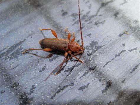 käfer in der wohnung bestimmen was ist das f 252 r ein k 228 fer identify other insects actias