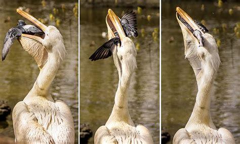 russias penza zoos enormous pelican eats  pigeon