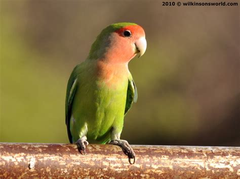 rosy faced lovebird wilkinson s world