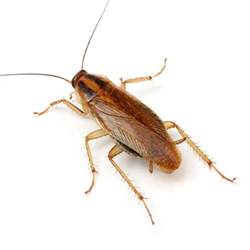 cockroaches insight pest solutions