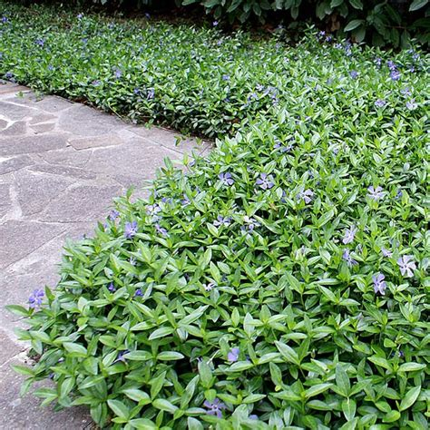 vinca minor ground cover gorgeous gardens of flowers pinterest