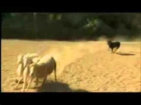whisperer rottweiler episode sheep herding with lights doovi