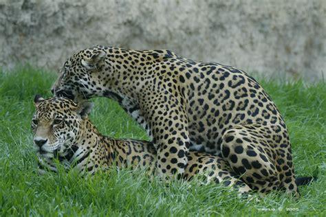 imagenes de jaguar hembra aura jaguar a c wwww aurajaguar org