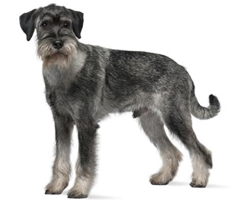stripping schnauzer puppy cut standard schnauzer history personality appearance