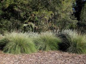 small ornamental grasses for sun www imgkid com the image kid has it