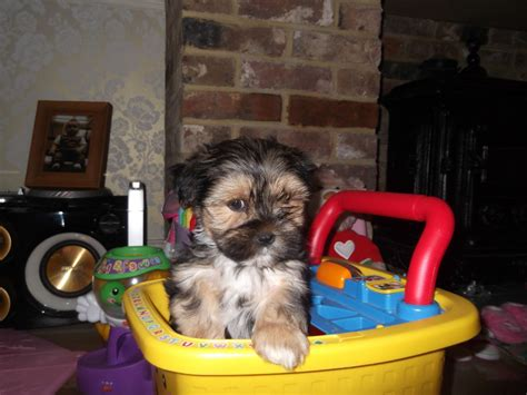 lhasa apso x yorkie lhasa apso x yorkie wadhurst east sussex pets4homes