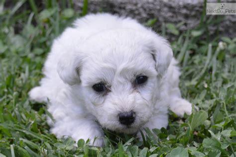 bichon frise puppies for sale near me bichon frise puppy for sale near springfield missouri ff7d526a 4171
