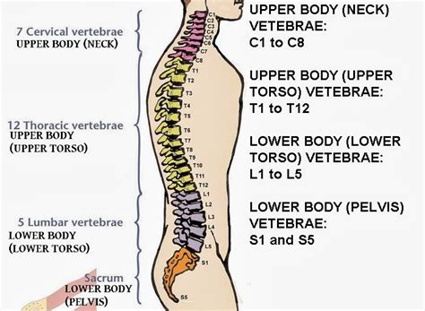 diagram of spine discs anatomy organ pictures best collection spine numbers