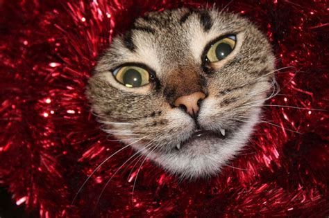These Dogs And Cats Are Trying To Ruin Christmas   Animals
