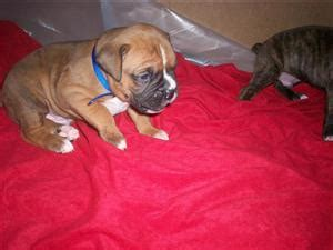 boxer puppies los angeles 7 week boxer puppy for sale los angeles usa free classifieds muamat