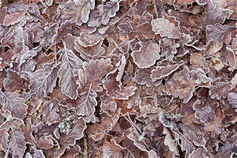 Etnic Brown Leaf free image of frosty brown autumn leaves