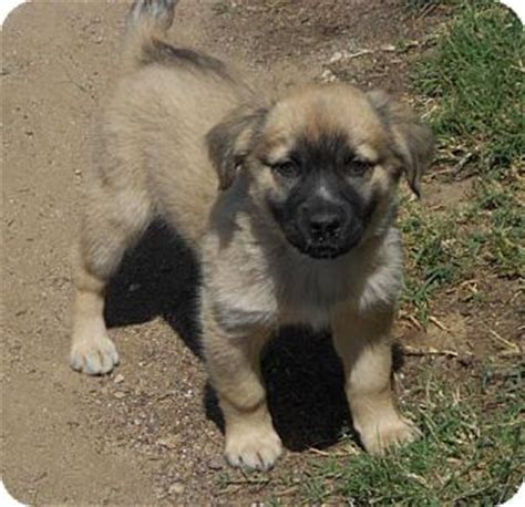german shepherd mixed with golden retriever puppies for sale adopted puppy a1007425 torrance ca golden retriever german shepherd mix