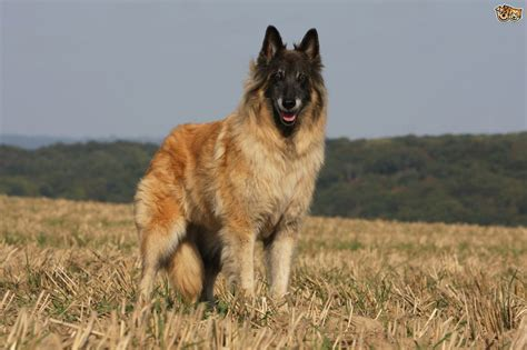 dogs similar to german shepherd shepherd breeds that are an alternative to the german shepherd pets4homes