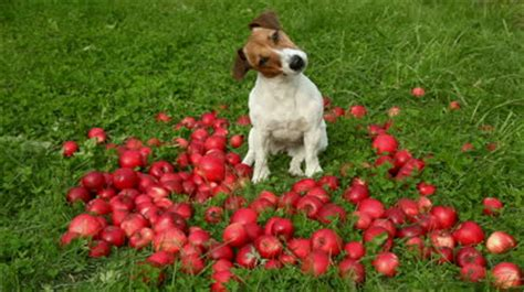 dogs and apples an apple a day 187 the dish