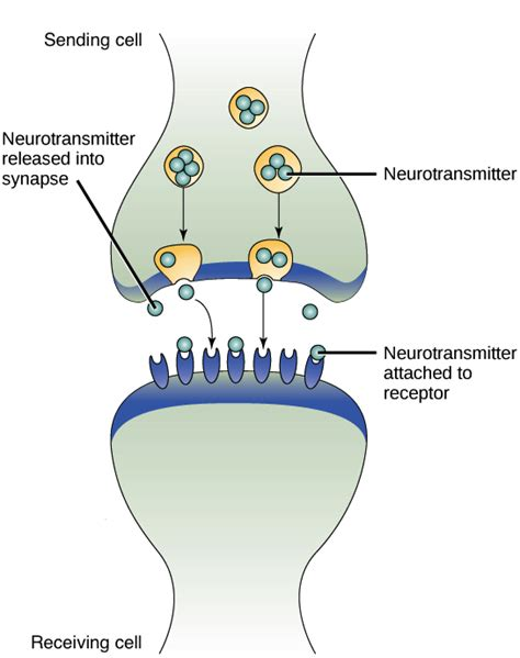 cell communication diagram image gallery neuron and target cell