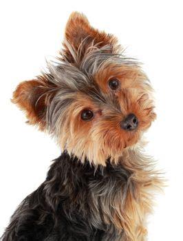 yorkies inc yorkies puppyplusinc jpg