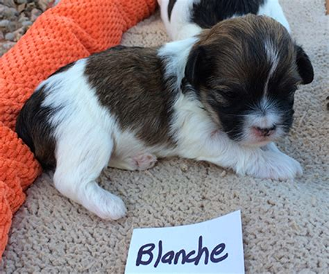 havanese puppies for sale in arizona havanese puppies for sale arizona california r havanese