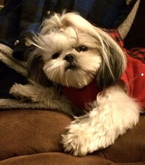 how can you leave a shih tzu alone 3297 best shih tzu dogs images on