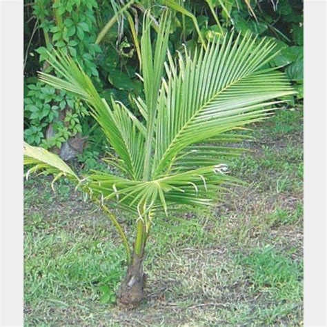 tree store florida coconut tree plants and palms florida coconuts store