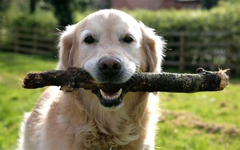 play with puppies fetch with sticks can harm dogs vets warn telegraph