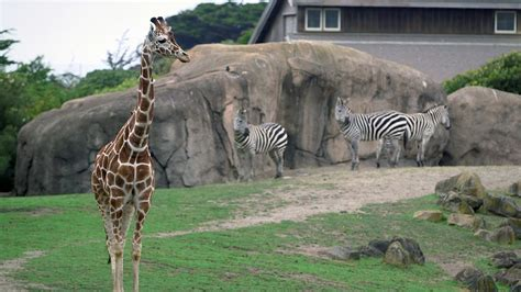 stanford students design  build enrichments  san francisco zoo animals youtube