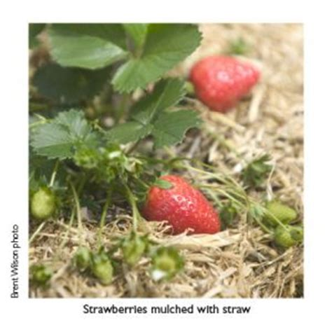 Strawberry Ct C strawberry recipes and growing tips burke s backyard