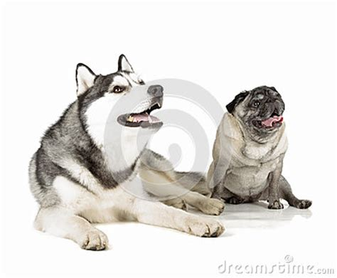 pug and husky pug and siberian husky royalty free stock photography image 33038767