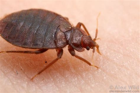 bed bugs chicago chicago bed bugs 78 best images about fauna nociva on