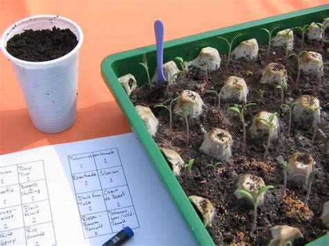 salat pflanzen ab wann tomaten pikieren tomaten pikieren und der