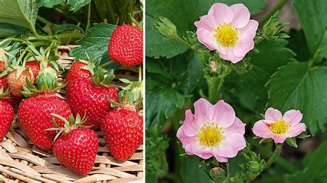 die k 246 nigin der erdbeeren schweizer garten