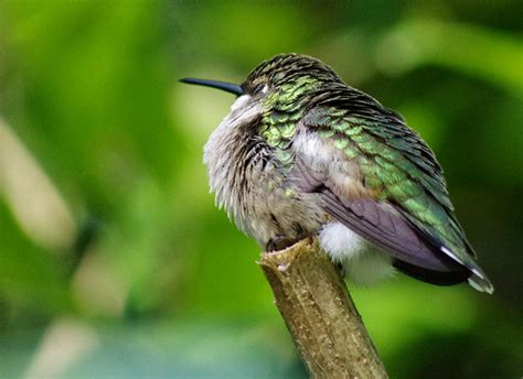 sleeping hummingbird flickr photo sharing