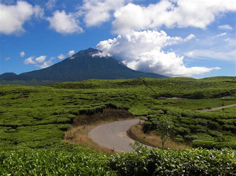 Teh Indonesia legenda unik perkebunan teh kayu aro kebun teh tertua di