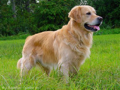 karakter golden retriever de golden retriever 4 goede redenen om te kiezen voor dit hondenras