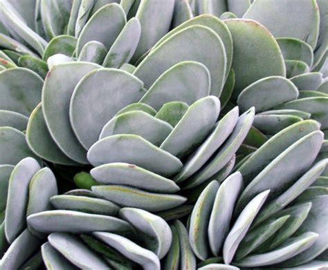 crassula dubai common name paddle succulent 125mm pot dawsons garden world