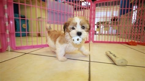 yorkie tzu puppies for sale huggable tcup yorkie tzu puppies for sale at puppies for sale local breeders