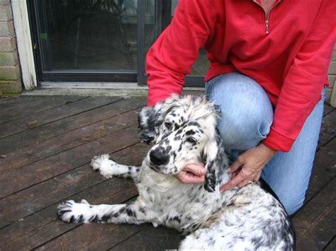 golden retriever dalmatian mix golden retriever dalmatian mix interesting stuff golden retriever