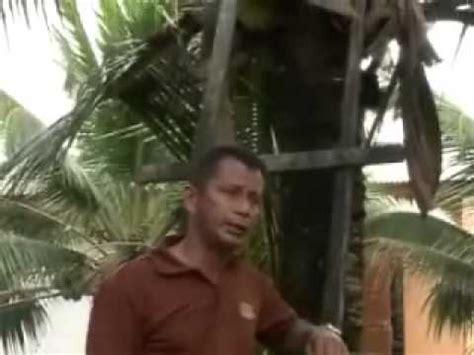 Bibit Kelapa Hibrida Medan rahsia dibongkarkan teknik semaian anak benih kelapa mataq