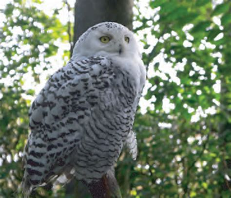 amazoncom snowy owl animal facts snowy owl canadian geographic