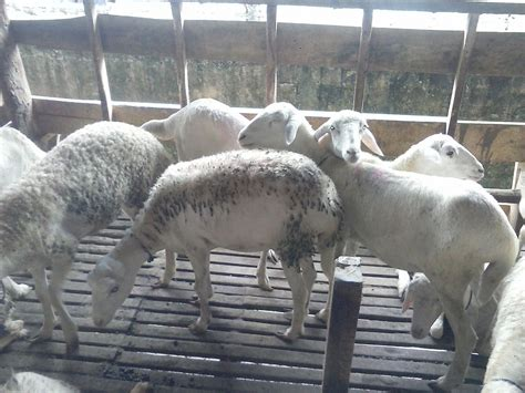 Bibit Kambing Di Bogor uncategorized archives filaha farm