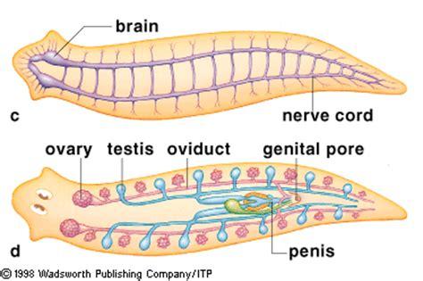 planaria diagram more turbellaria moving mating skeptical squirrel