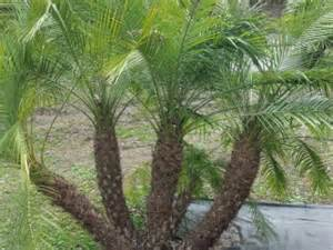 where to buy trees in houston pygmy date palm tree for sale in houston buy
