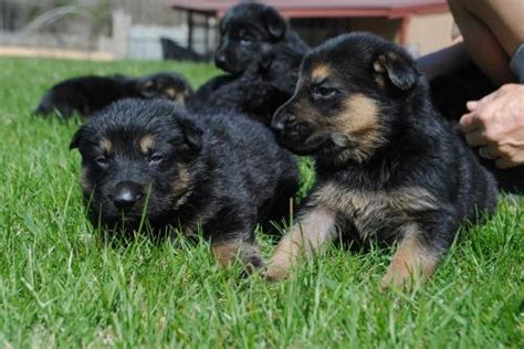 german shepherd puppies nh new hshire for sale puppies for sale