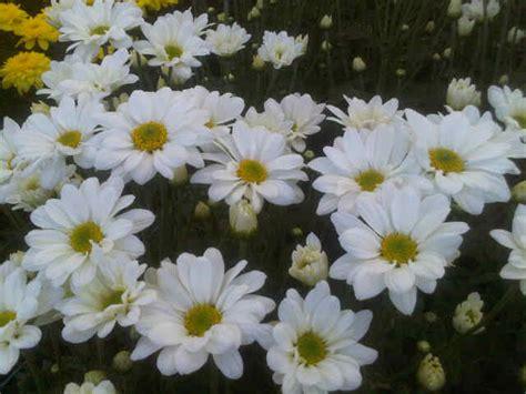 Tanaman Krisan Putih tanaman krisan aster putih jual tanaman hias