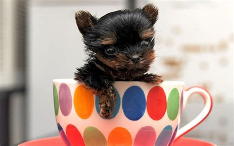 sell puppies organisations warn of craze for tiny teacup puppies as breeders sell sick dogs