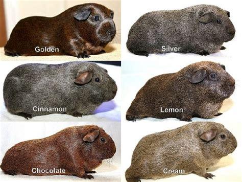 guinea pig colors guinea pig breeds search colors pets