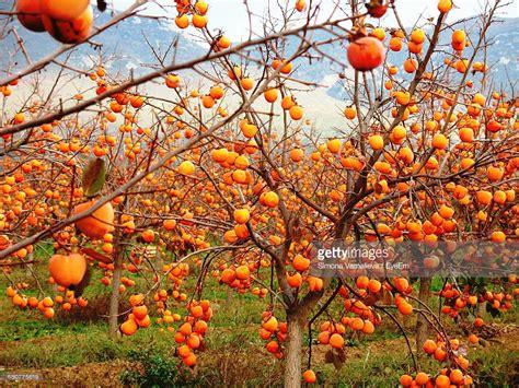 Keset Kaki Printing Fruits Berkualitas persimmon fruits growing on tree stock photo getty images